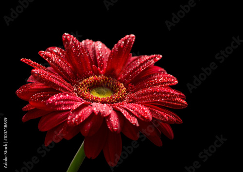 Red gerbera isolated on black background
