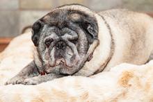 Big Lazy Pug Dog On Bed
