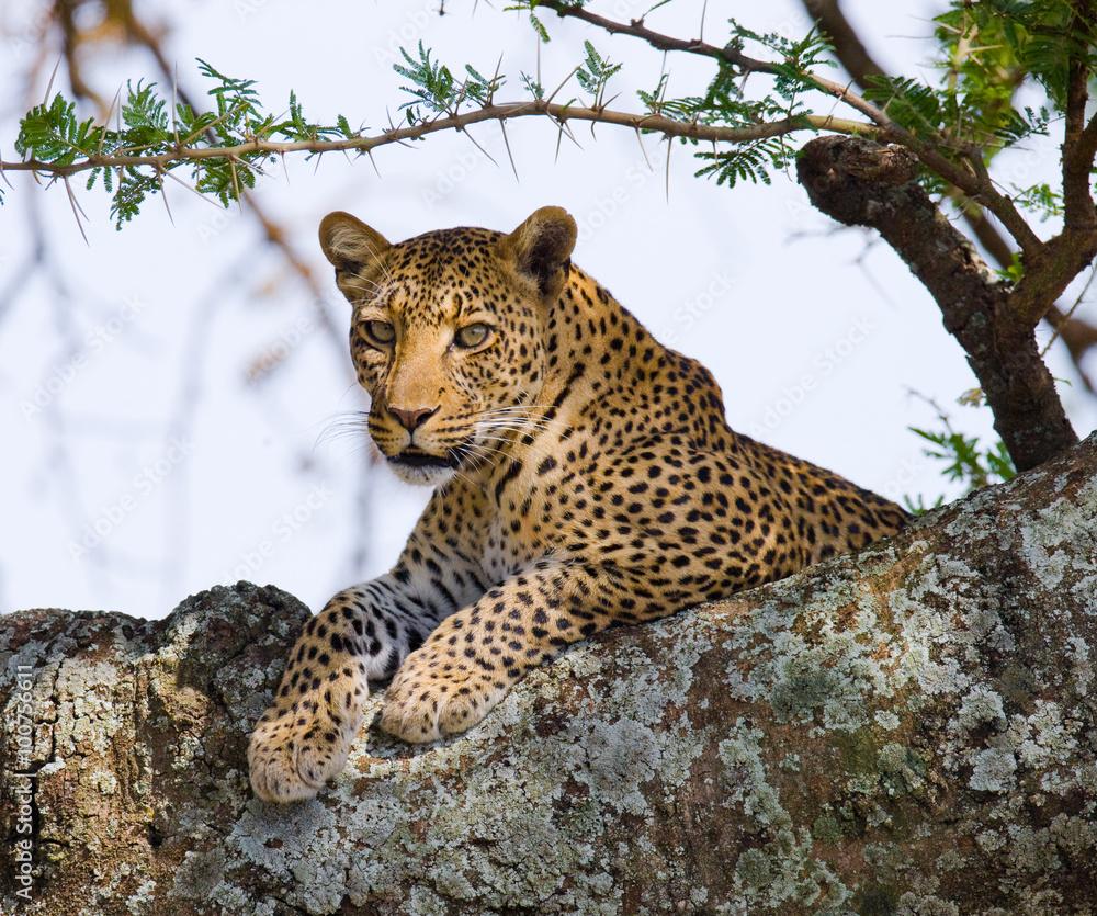 Leopard is lying on a tree. National Park. Kenya. Tanzania. Maasai Mara. Serengeti. An excellent illustration.