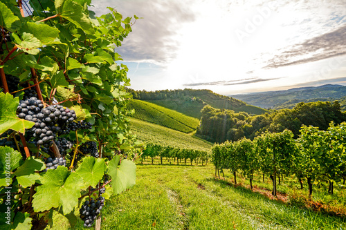 Fotografia  Vines in a vineyard in autumn - Wine grapes before harvest
