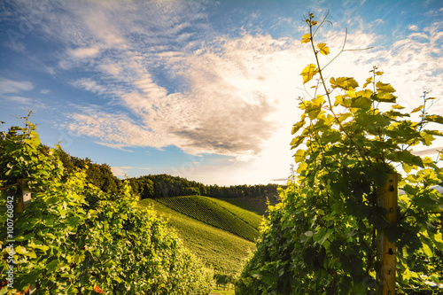 Vineyard with grape vines before harvest in autumn, Southern Styria Austria Europe