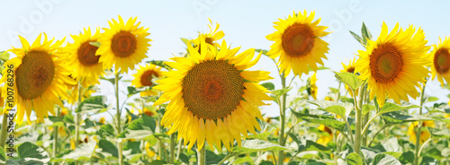 field of unripe sunflowers or helianthus in summer, selective focus - 100768296