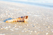 Shells or Conch on sea beach in the morning.