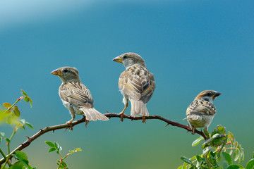 sparrow in natural habitat