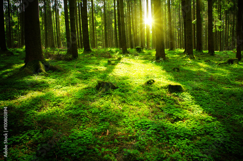 Wall Murals Forest Sun beam in a green forest.
