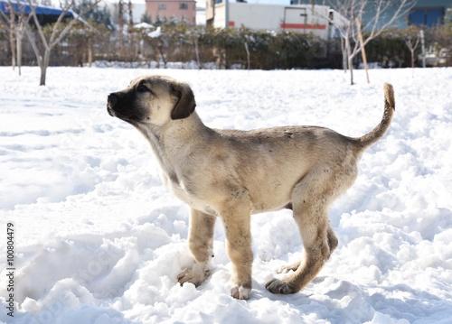 Kangal Köpeği Yavrusu Poster