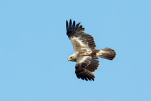 The Booted Eagle (Aquila Penna...