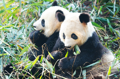 Photo Two Panda Bears eating bamboo, sitting side by side, China