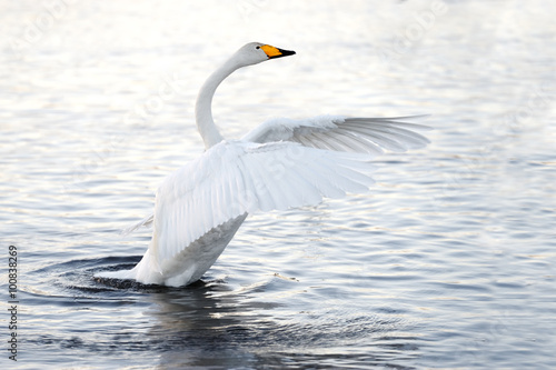 Foto op Aluminium Zwaan Beautiful, gentle, lonely swan floating on the lake in the wild.
