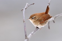 Winter Wren In Natural Habitat...