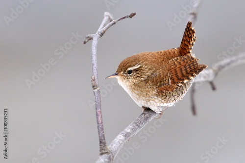 Winter wren in natural habitat ( Troglodytes troglodytes ) Tablou Canvas