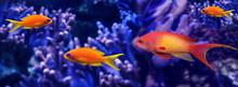 Coral Fish - Pseudanthias Squamipinnis