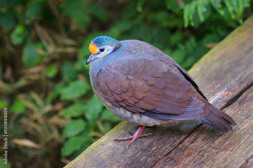 The Sulawesi ground dove (Gallicolumba tristigmata) also known as yellow-breasted ground dove