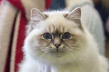 Birmania Cat Close Up Portrait