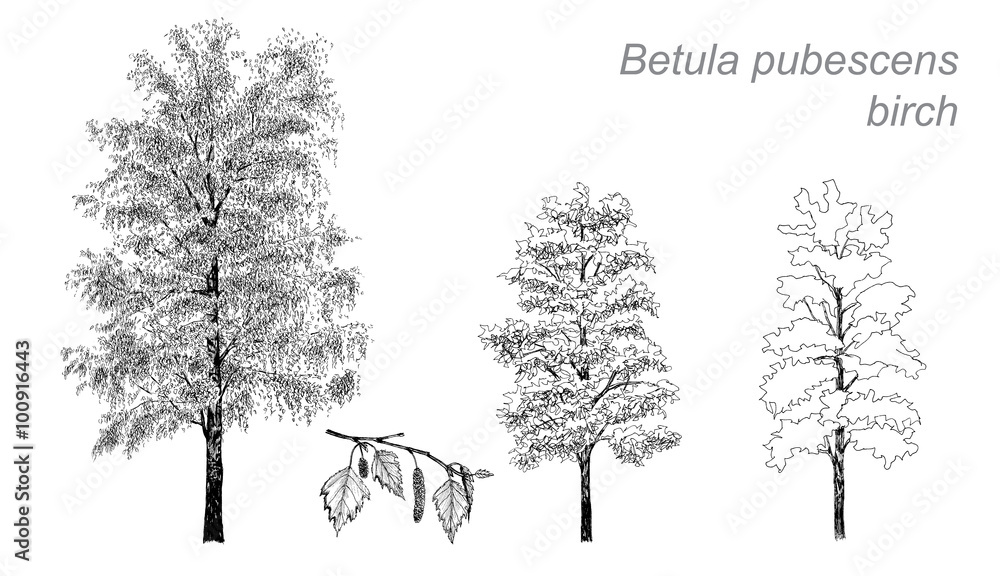 vector drawing of birch (Betula pubescens)