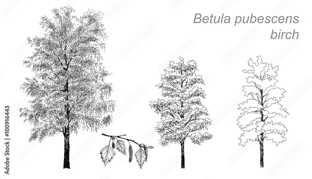 vector drawing of birch (Betula pubescens)
