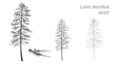 Vector Drawing Of Larch (Betul...