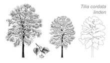 Vector Drawing Of Linden (Tilia Cordata)