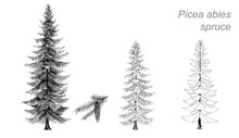 Vector Drawing Of Spruce (Picea Abies)