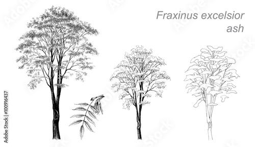 Fotografie, Obraz  vector drawing of ash (Fraxinus excelsior)