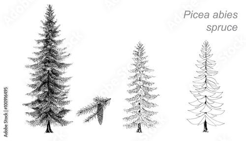 Fototapeta vector drawing of spruce (Picea abies) obraz