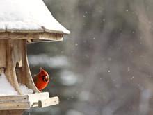 Cardinal At Bird Feeder