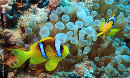 Poster Coral reefs anemone fish, clown fish, underwater photo