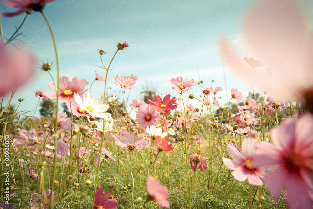Fototapety, obrazy: Cosmos flower blossom in garden