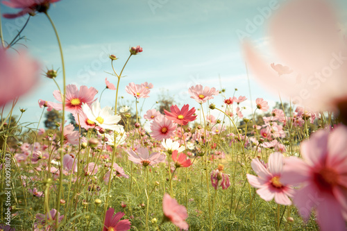 Wall Murals Meadow Cosmos flower blossom in garden