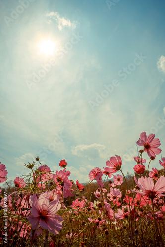 Cosmos flower blossom in garden