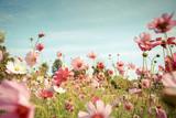Fototapeta Kwiaty - Cosmos flower blossom in garden