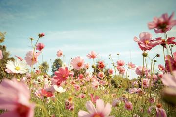 FototapetaCosmos flower blossom in garden