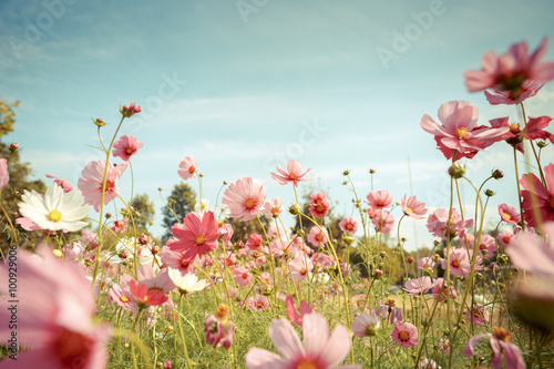 Photo Cosmos flower blossom in garden
