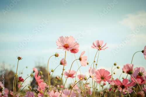 Cosmos flower blossom in garden Canvas Print