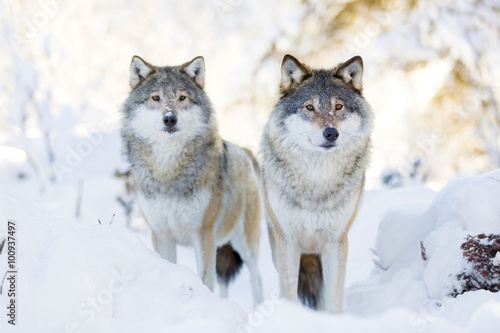 Tuinposter Wolf Two wolves in cold winter forest
