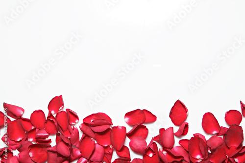 piekni-czerwonych-roz-platki-na-bialym-tle-walentynki-rocznica-itp-tlo