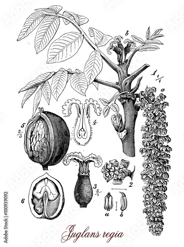 Foto  Walnut tree widely cultivated across Europe, botanical vintage e
