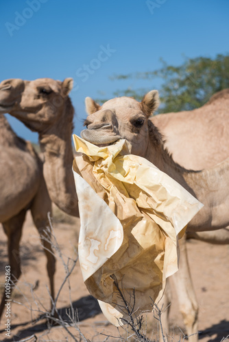 Photo  wild camels in the hot dry middle eastern desert eating plastic garbage waste