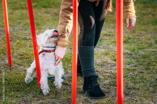 Fotografía  West highland white terrierdog doing agility - running slalom.