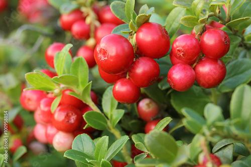 Fotografia  Cranberries close-up