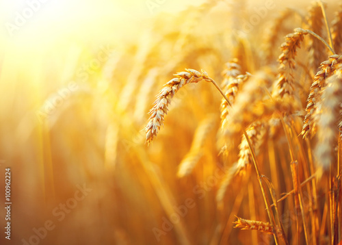 Fotobehang Cultuur Wheat field. Ears of golden wheat closeup. Rural scenery under shining sunlight