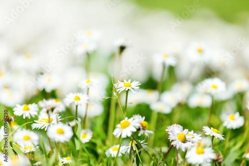 In de dag Madeliefjes daisy field