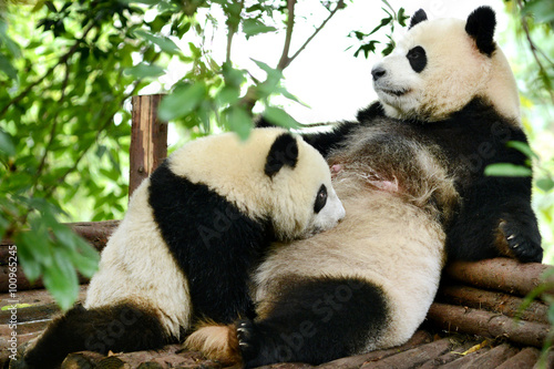 Foto op Plexiglas Panda Giant panda bear cub and Mother Breastfeeding Chengdu, China