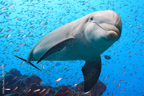 Papel de parede  dolphin underwater on reef background