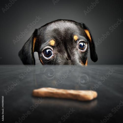 Cuadros en Lienzo Puppy longing for a treat