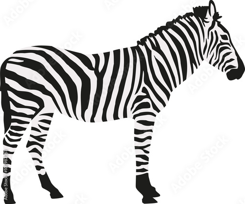 Zebra in two colors isloated - 100987051