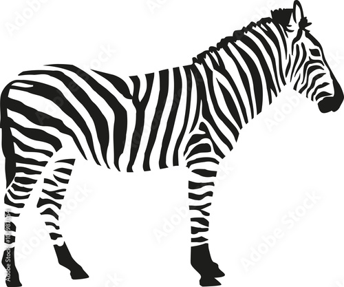 Zebra silhouette isloated on white background - 100987054