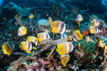 Fototapeta na wymiar Klein's Butterflyfish Feeding on Eggs on a Pacific Reef