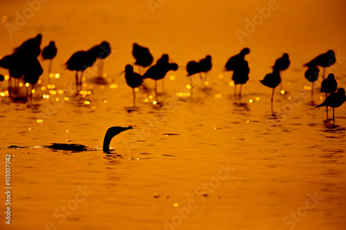 Photo  Silhouette of Common Redshank with twilight background