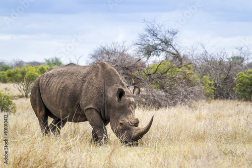 Poster Neushoorn Southern white rhinoceros in Kruger National park, South Africa